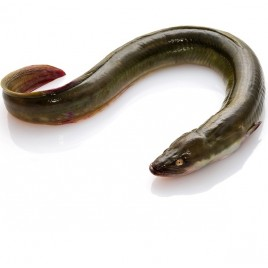 Anguilles Fraîches