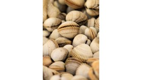 Cockles from Brittany - 500g - 1kg