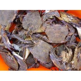 Velvet Swimming Crab - Live - 1kg