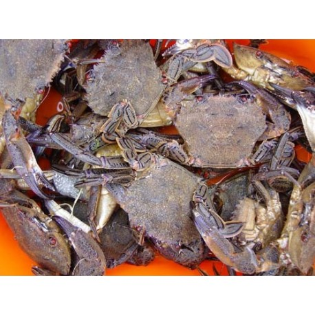 Velvet Swimming Crab - Live - 1kg