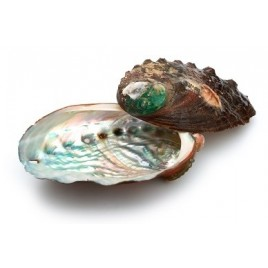 Abalone Shell - Batch of 10