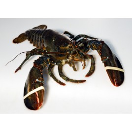 Canadian Lobster - Live - Sized 450g to 550g